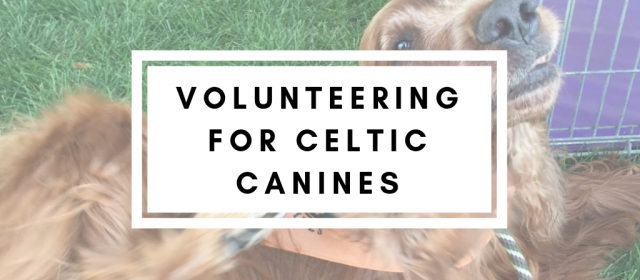 Volunteering for Celtic Canines